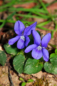 Common Dog-violet (Viola riviniana) Rhododendron Wood, Leith Hill, Surrey, England, April.  -  Linda Pitkin