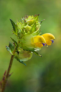Greater yellow rattle (Rhinanthus angustifolius), nationally rare, Surrey, England, June.  -  Linda Pitkin