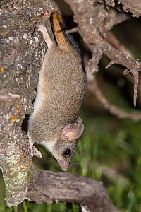 Red-tailed phascogale (Phascogale calura) Wheat-belt Region, Western Australia.  -  Jiri Lochman