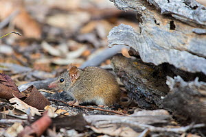 Yellow-footed Antechinus (Antechinus flavipes subsp. leucogaster) Wheatbelt Region of Western Australia, September.  -  Jiri Lochman