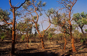 Banksia woodland regenerating after bushfire, Neerabup National Park, Perth Region, Western Australia. June 2000.  -  Marie Lochman