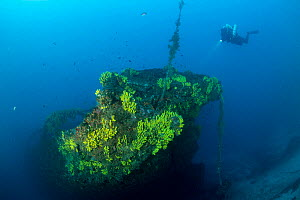 Rebreather diver exploring the wreck of the Italian tugboat Ursus which sank on 31 January 1941, covered with yellow sponges (Aplysina cavernicola), near Stoncica lighthouse, Vis Island, Croatia, Adri...  -  Franco Banfi