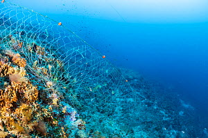 Fishing net discarded on a reef, Vis Island, Croatia, Adriatic Sea.  -  Franco Banfi