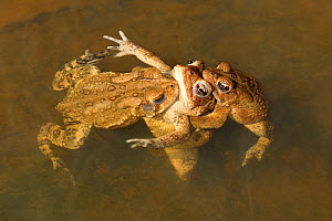 American toads (Anaxyrus americanus), males mating with female, Maryland, USA. April.  -  John Cancalosi