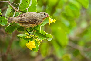 Vegetarian finch (Platyspiza crassirostris) snipping the sweet base of a Cordia flower Academy Bay, Santa Cruz Island, Galapagos.  -  Tui De Roy