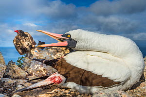 Nazca booby (Sula granti) biting at Vampire ground finch (Geospiza septentrionalis) which was feeding on its blood, Wolf Island, Galapagos.  -  Tui De Roy