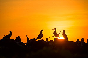 Blue-footed booby (Sula nebouxii) silhouetted colony at sunset, Cape Douglas, Fernandina Island, Galapagos.  -  Tui De Roy