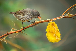 Cactus finch (Geospiza scandens) feeding on gourd fruit, Black Beach, Floreana Island, Galapagos.  -  Tui De Roy