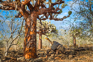 Espanola saddelback tortoise (Chelonoidis hoodensis) walking through Tree prickly pears (Opuntia echios) Espanola Island, Galapagos.  -  Tui De Roy