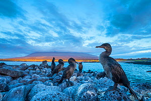 Flightless cormorant (Phalacrocorax harrisi) flock perched on the coast at dusk, Cape Douglas, Fernandina Island, Galapagos.  -  Tui De Roy