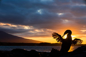 Flightless cormorant (Phalacrocorax harrisi) silhouetted at sunset, Punta Espinosa, Fernandina Island, Galapagos.  -  Tui De Roy