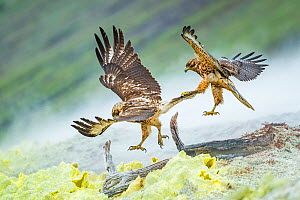 Galapagos hawk (Buteo galapagoensis) juveniles play fighting mid-air - one gripping the others tail feathers. Alcedo Volcano, Isabela Island, Galapagos.  -  Tui De Roy