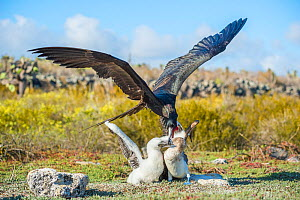 Magnificent frigatebird (Fregata magnificens) attacking Blue footed booby (Sula nebouxii) feeding chick. This bird is trying to steal the food from the parent. Santa Cruz Island, Galapagos.  -  Tui De Roy