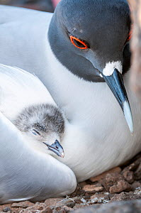 Swallow-tailed gull (Creagrus furcatus) resting with chick nestled in wing, Plazas Island, Galapagos.  -  Tui De Roy