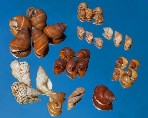 Historical collection of Land snails.Galapagos.  -  Tui De Roy