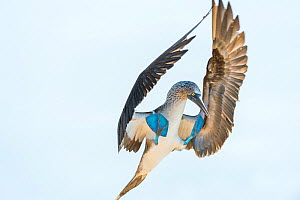 Blue-footed booby (Sula nebouxii) landing, South coast, Santa Cruz Island, Galapagos,  -  Tui De Roy