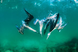 Blue-footed booby (Sula nebouxii) group feeding underwater, Tabaca Channel, Santa Cruz Island, Galapagos.  -  Tui De Roy