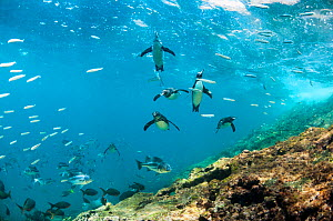 Galapagos penguins (Spheniscus mendiculus) underwater with shoal of fish, Tagus Cove, Isabela Island, Galapagos,  -  Tui De Roy