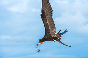 Magnificent frigatebird (Fregata magnificens) in flight, with beakful of hatchling sea turtles, with some dropping out of beak. Las Bachas, Santa Cruz Island, Galapagos,  -  Tui De Roy