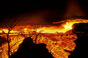 Lava flow in Fernandina Island, Galapagos Islands. Lava flowing at speed of water runs past old stand of Bursera graveolens trees on previously vegetated cone (February 1995),  -  Tui De Roy