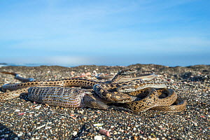 Galapagos racer snakes (Pseudalsophis biserialis) trying to get at iguana hatchling, which one is in the process of swallowing, Cape Douglas, Fernandina Island, Galapagos.  -  Tui De Roy