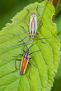 Meadow plant bugs (Leptopterna dolabrata) pair with male below, Sutcliffe Park Nature Reserve, Eltham2, London, England, UK, June.  -  Rod Williams