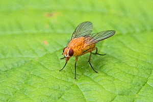 Orange muscid fly (Phaonia pallida) female, Hutchinson's Bank, New Addington, London, England, UK. June.  -  Rod Williams