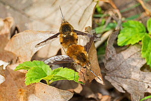 Dark-edged bee-flies (Bombylius major) mating pair on leaf litter, Brockley Cemetery, Lewisham, London, England, UK. March.  -  Rod Williams