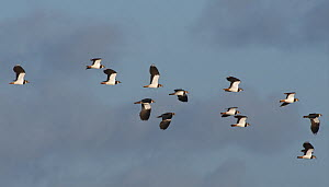 Flock of Lapwings (Vanellus vanellus) in flight against a blue sky, Catcott Lows National Nature Reserve, Somerset, UK, January.  -  Nick Upton