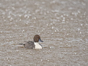 Northern pintail (Anas acuta) drake bathing in a marshland pool in heavy rain, Gloucestershire, UK, January.  -  Nick Upton