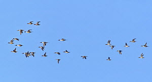Northern pintail (Anas acuta) and Wigeon (Anas penelope) mixed species group in flight overhead, RSPB Otmoor reserve, Oxfordshire, UK, January.  -  Nick Upton