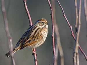 Reed bunting (Emberiza schoeniclus) female perched in a bush in winter sunshine, RSPB Otmoor, Oxfordshire, UK, January.  -  Nick Upton