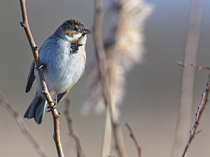 Reed bunting (Emberiza schoeniclus) male perched in a bush near reed beds in winter sunshine, RSPB Otmoor, Oxfordshire, UK, January.  -  Nick Upton