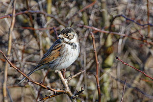 Reed bunting (Emberiza schoeniclus) male perched in a bush in winter sunshine, RSPB Otmoor, Oxfordshire, UK, January.  -  Nick Upton