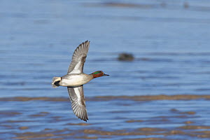 Common teal (Anas crecca) drake in flight over mudflats, Severn Estuary, Somerset, UK, January.  -  Nick Upton