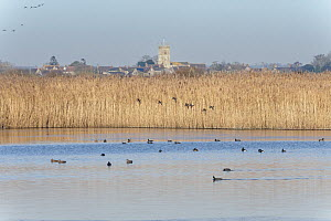 Common teal (Anas crecca) group about to land in a reed fringed marshland pool to join a variety of other wildfowl swimming on it, with Charlton on Otmoor village and church in the background, RSPB Ot...  -  Nick Upton