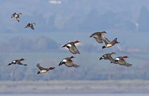 Wigeon (Anas penelope) flock and two Common teal (Anas crecca) flying over the Severn Estuary, Gloucestershire, UK, January.  -  Nick Upton