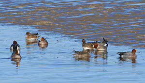Wigeon (Anas penelope) swimming up a tidal creek as a high tide rises to cover the mudflats, Severn Estuary, Somerset, UK, January.  -  Nick Upton