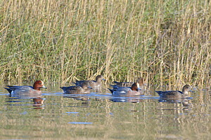 Wigeon (Anas penelope) swimming up a tidal creek as a high tide rises to cover the mudflats and salt marshes, Severn Estuary, Somerset, UK, January.  -  Nick Upton