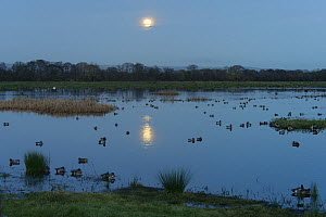 Wigeon (Anas penelope) group swimming on flooded pastureland at dusk with a rising full Wolf moon, Catcott Lows National Nature Reserve, Somerset, UK, January.  -  Nick Upton