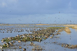 Large, dense flock of Wigeon (Anas penelope), Common Teal (Anas crecca) and Northern shoveler (Anas / Spatula clypeata) resting on largely flooded marshy pastureland with Northern lapwings (Vanellus v...  -  Nick Upton