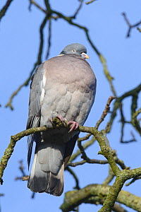 Wood pigeon (Columba palumbus) perched on a tree branch, Gloucestershire, UK, January.  -  Nick Upton