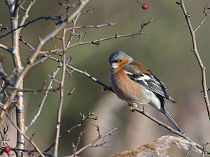 Chaffinch (Fringilla coelobs) male perched in a bush in winter sunshine, RSPB Otmoor, Oxfordshire, UK, January.  -  Nick Upton