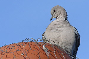 Collared dove (Streptopelia decaocto) perched on a chimney pot, Gloucestershire, UK, January.  -  Nick Upton