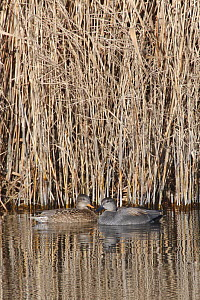 Gadwall (Anas strepera) pair swimming in a reed fringed marshland pool, RSPB Otmoor, Oxfordshire, UK, January.  -  Nick Upton