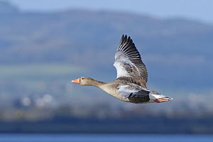 Greylag goose (Anser anser) in flight over the Severn Estuary, Gloucestershire, UK, January.  -  Nick Upton