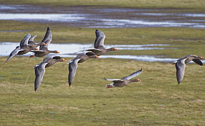 Greylag goose (Anser anser) group in flight over partially flooded pastureland, Gloucestershire, UK, January.  -  Nick Upton