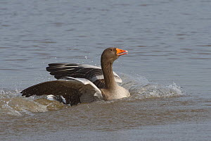 Greylag goose (Anser anser) landing on a marshland pool, Gloucestershire, UK, January.  -  Nick Upton