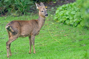 Roe deer (Capreolus capreolus) doe standing on a lawn, chewing a fallen twig with leaf buds on from a Weeping willow tree (Salix x sepulcralis), Wiltshire garden, UK, February.  -  Nick Upton