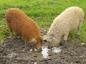 Two Mangalica / Woolly pigs (Sus scrofa domestica), a Hungarian breed, foraging in a muddy free-range pen, Dorset, UK, October.  -  Nick Upton
